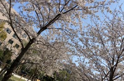 築地川公園の桜